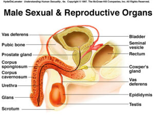 Male Sexual & Reproductive Organs